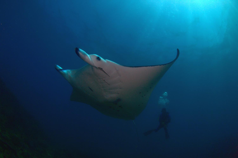 Manta point at nusa penida bali biology for divers - Mantas de piel ...